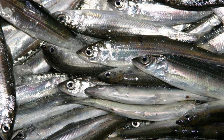 Kleine Maräne (Muikku) – Fisch, Leckerbissen und Sehenswürdigkeit