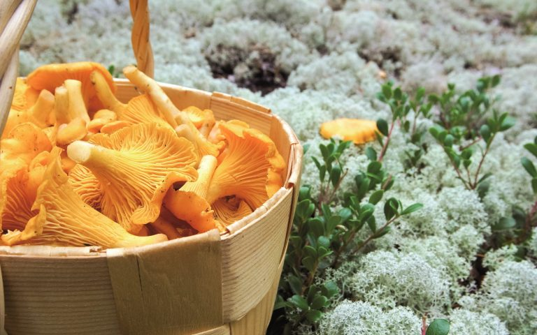 Finland Travel – Finnish superfood, berries and mushrooms from the Finnish forest   Visit Saimaa